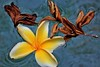 Frangipani Pool Abstract