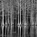 carvers creek cypress by charliepeek