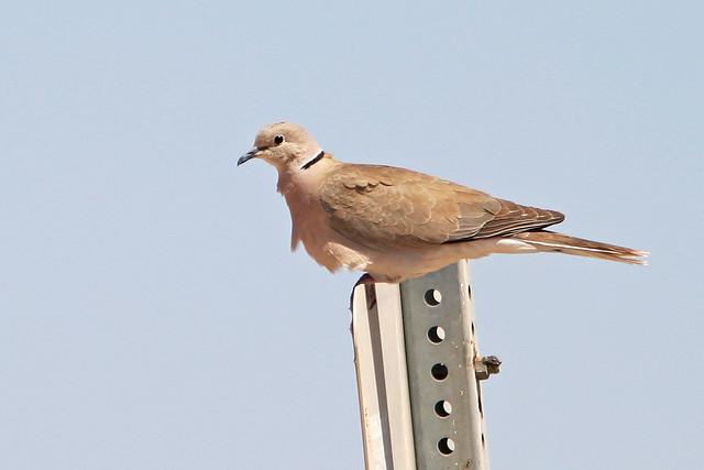 Eurasian Dove _1551