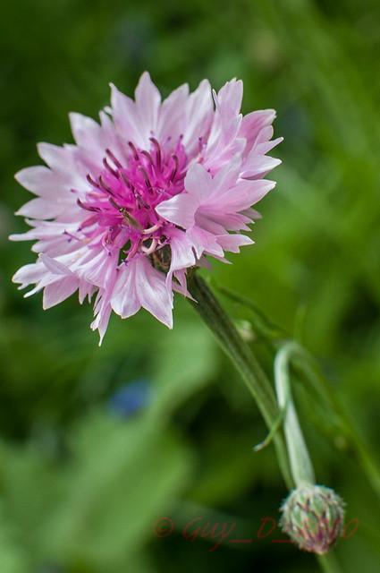 Bleuet rose (Centaurea Cyanus)