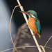 Kingfisher, (Alcedo atthis). by PRA Images