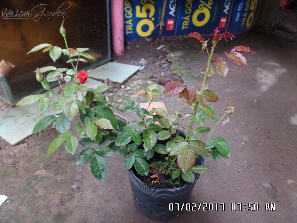 Chậu hoa hồng Hot Chocolate Rose giâm cành hiện cây có chiều cao 35cm