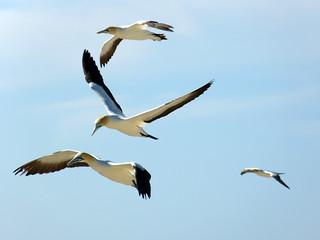 Cape Gannets / Morus capensis