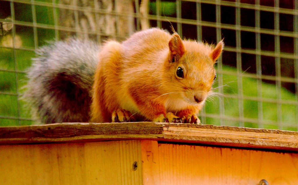 Russian Red Tree Squirrel