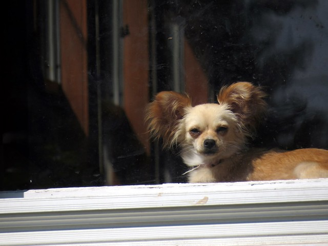 I see this dog in the window almost everyday.