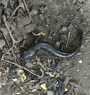 2015-8-26. Salamander 2