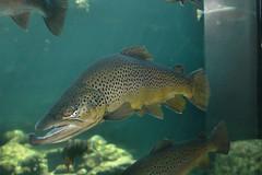D70-0812-001 - Fish of the Sacramento River