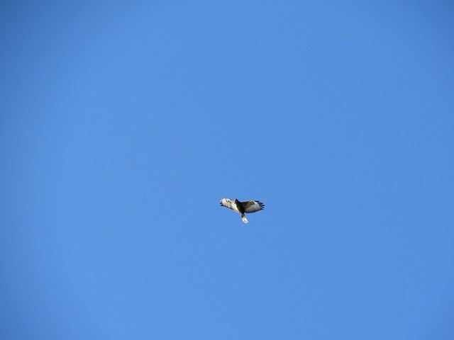 Falcon - Soko