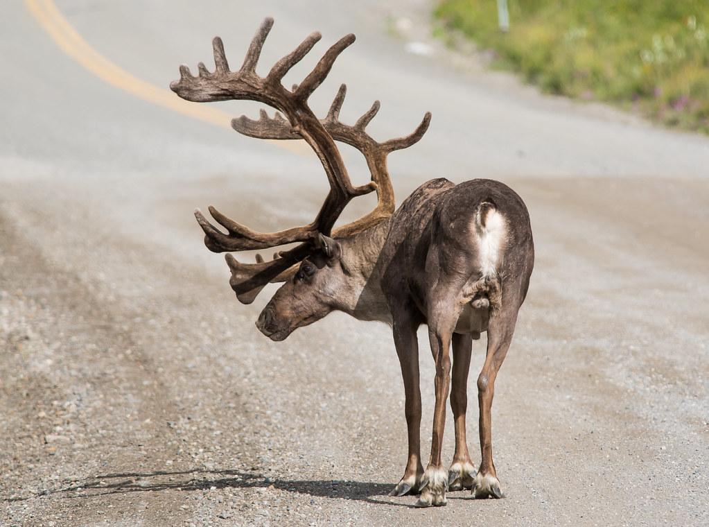 雄驯鹿 (Bull Caribou)