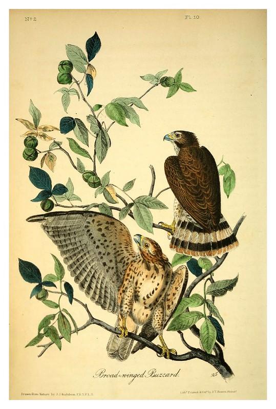 002- Buitre de grandes alas- Vol1-1840-The birds of America…J.J. Audubon