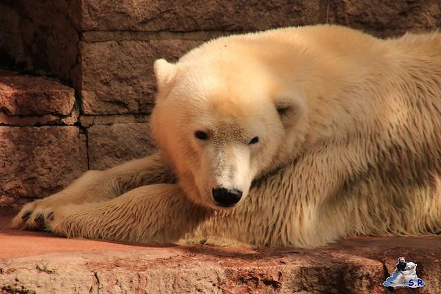 Eisbär Fiete im Zoo Rostock 26.09.2015   0149