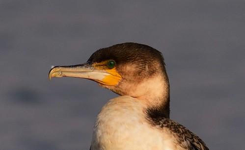profile botswana whitebreastedcormorant phalacrocoraxlucidus mogobanedam