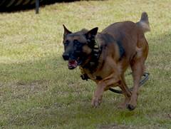german shepherd dog(0.0), street dog(0.0), wolfdog(0.0), australian cattle dog(0.0), dog breed(1.0), animal(1.0), dog(1.0), pet(1.0), mammal(1.0), belgian shepherd malinois(1.0),