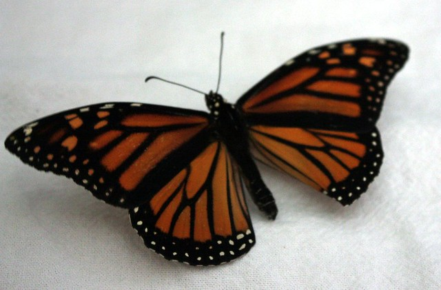 monarch with wings expanded on a white towel, with one wing visibly bent under