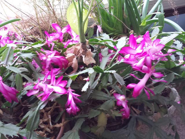cacti_flowers--20151114