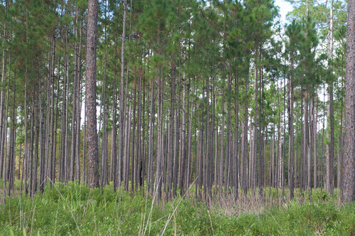 florida longleafpine osceolanationalforest mountcarriewayside