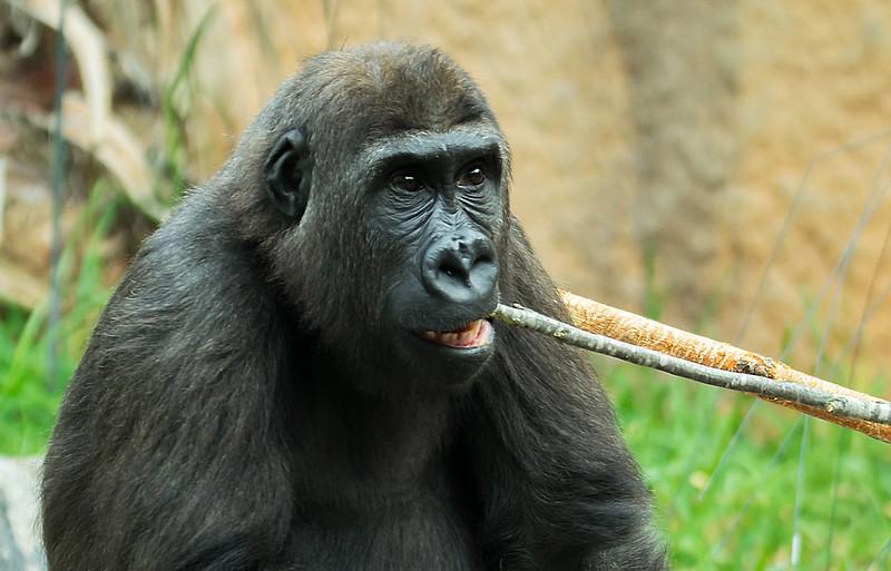 Zähneputzen auf Gorillaart