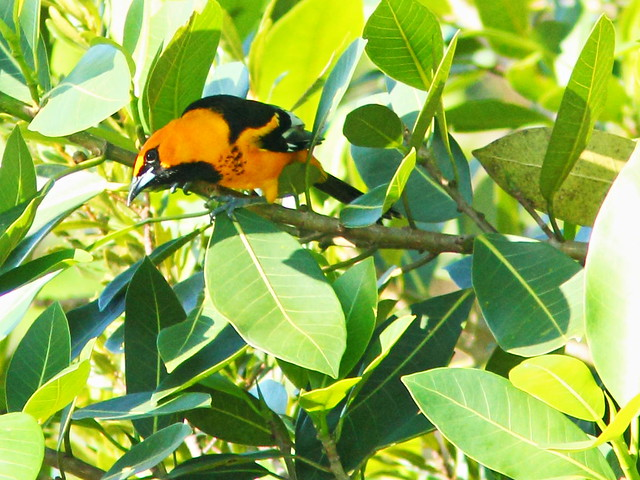 Spot-breasted Oriole 01-20151202