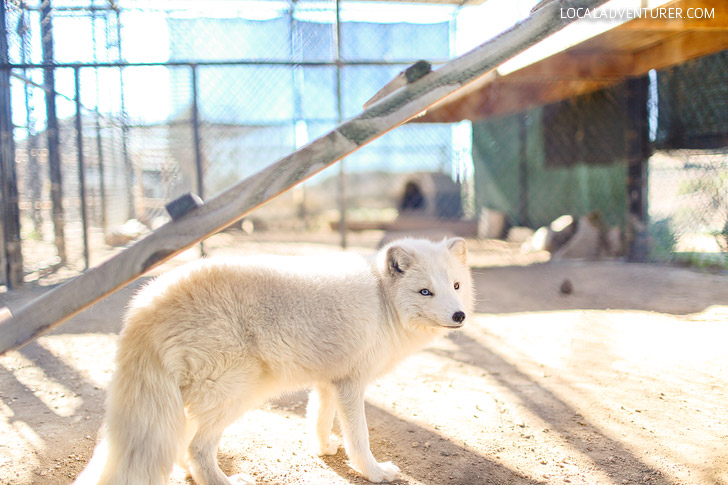 Meet the Arctic Foxes at Wild Wonders Bonsall CA, an educational zoo with a mission to rescue, educate, and conserve.