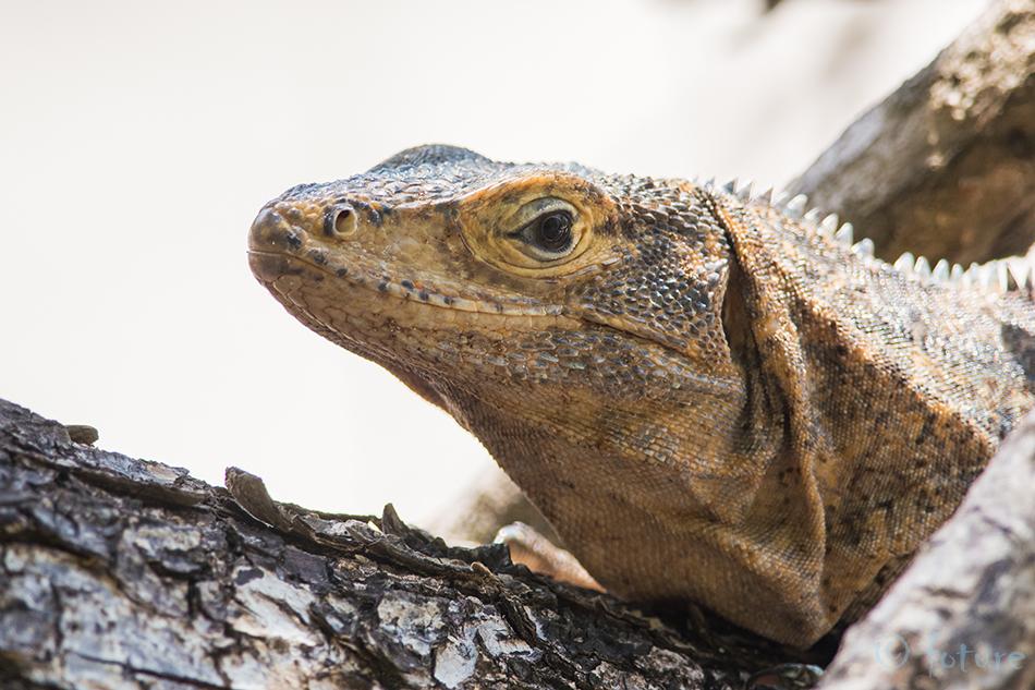 Must, iguaan, Ctenosaura, similis, Black, spiny, tailed, Iguana, ctenosaur, Manuel, Antonio, National, Park, Costa, Rica, Kaido Rummel