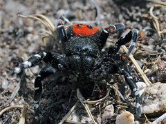 dung beetle(0.0), beetle(0.0), wolf spider(0.0), arthropod(1.0), animal(1.0), spider(1.0), invertebrate(1.0), insect(1.0), macro photography(1.0), fauna(1.0), close-up(1.0), tarantula(1.0), wildlife(1.0),