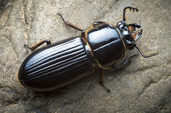 japanese rhinoceros beetle(0.0), horn(0.0), arthropod(1.0), scarabs(1.0), animal(1.0), invertebrate(1.0), insect(1.0), macro photography(1.0), fauna(1.0), dung beetle(1.0), ground beetle(1.0),