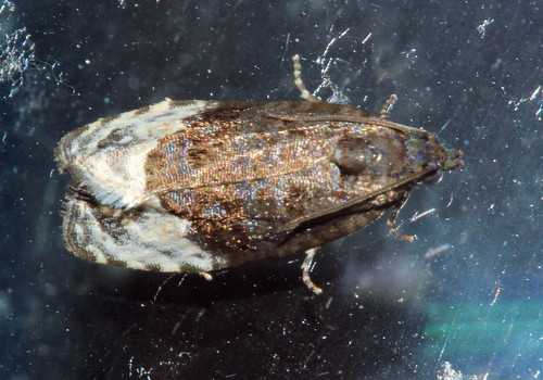 Marbled Orchard Tortrix 1798