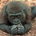 westelijke laagland gorilla burgerszoo JN6A8638 by j.a.kok