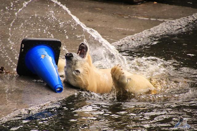 Eisbär Fiete im Zoo Rostock 06.09.2015  086