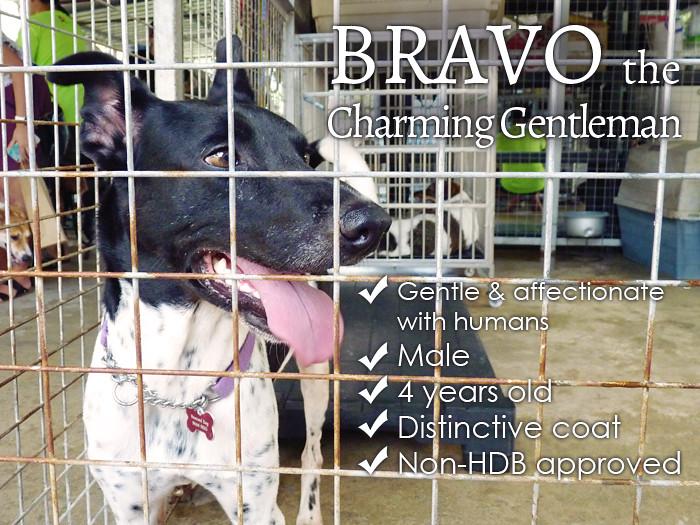 adopt singapore special dog Bravo