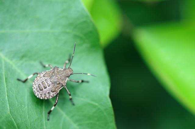 クサギカメムシ (larva) [ Halyomorpha halys (Stål,1855) ]...