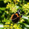 Sights of autumn: red admiral on ivy