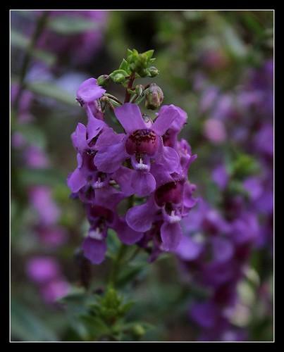 Angelonia angustifolia 22533385732_f0c387e299