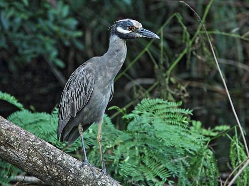 Yellow-crowned Night-Heron dirty crown 20151108