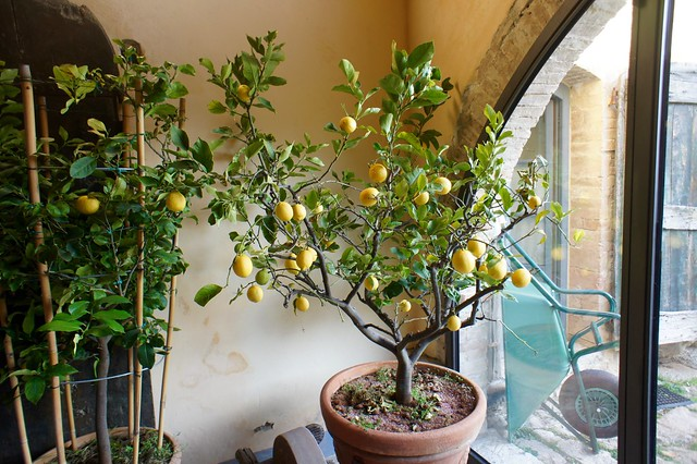 lemon-tree-winter-italy-cr-brian-dore
