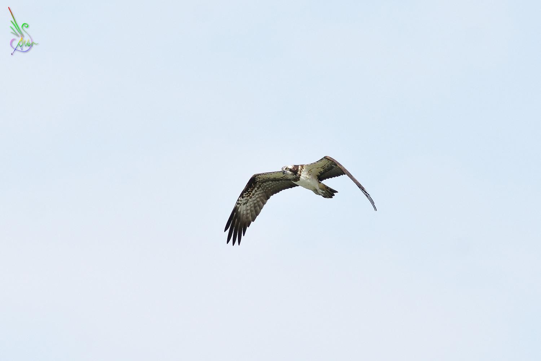 Osprey_2235