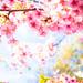 sakura '17 - cherry blossoms #1 (Sanjo, Kyoto) by Marser