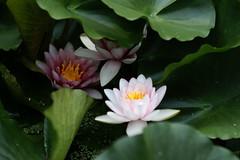 Lotus Pond @ Konrenji Temple