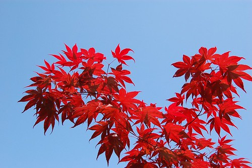 Maple in the blue sky