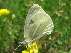 nectar(0.0), leaf(0.0), colias(0.0), arthropod(1.0), pollinator(1.0), animal(1.0), moths and butterflies(1.0), butterfly(1.0), flower(1.0), yellow(1.0), wing(1.0), nature(1.0), invertebrate(1.0), macro photography(1.0), flora(1.0), fauna(1.0), cabbage butterfly(1.0), close-up(1.0), meadow(1.0), wildlife(1.0),