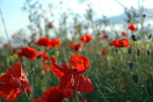 Poppies 1