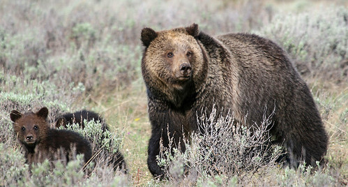 Yellowstone Grizzly & Cubs