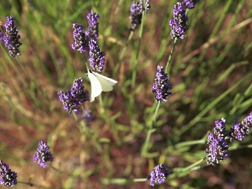La lavande et le papillon