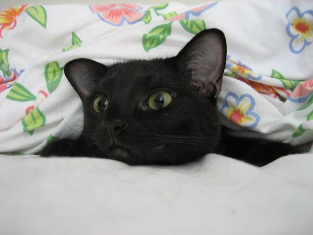 Hack Black Cat Toontown