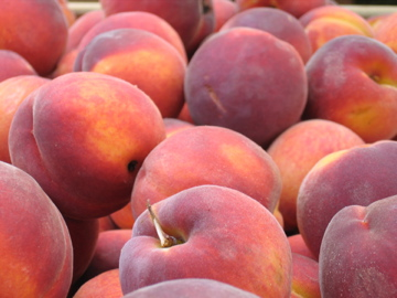 A closeup of fresh, ripe peaches