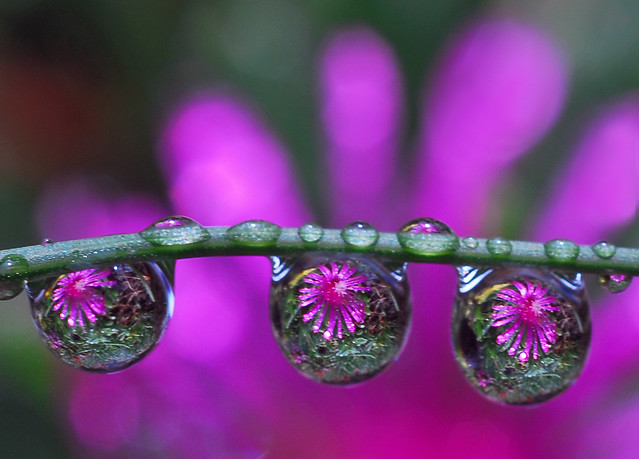 drops of purple petals