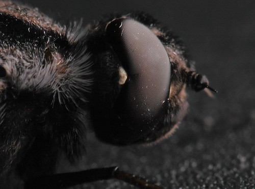 Bee fly face