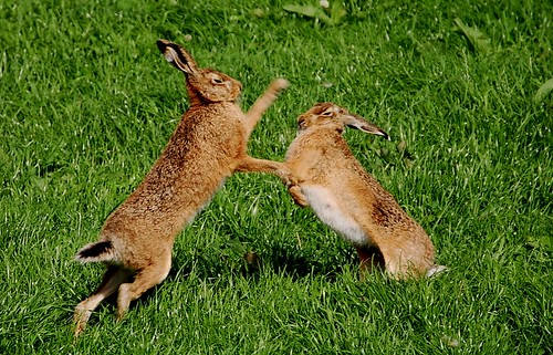 Boxing Hare- Islay