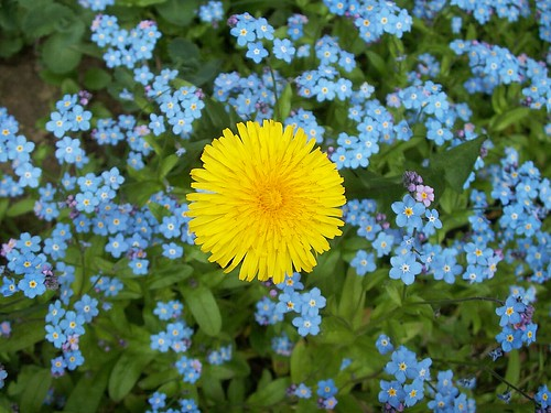 Dandelion and Forget-me-nots (1)