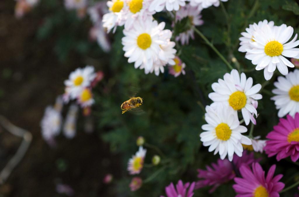 飛んでいるハチ 2009/11/08 DSC_6971